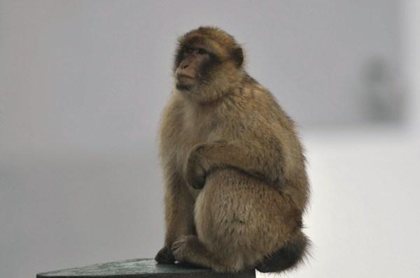 Gib_monkey_2
